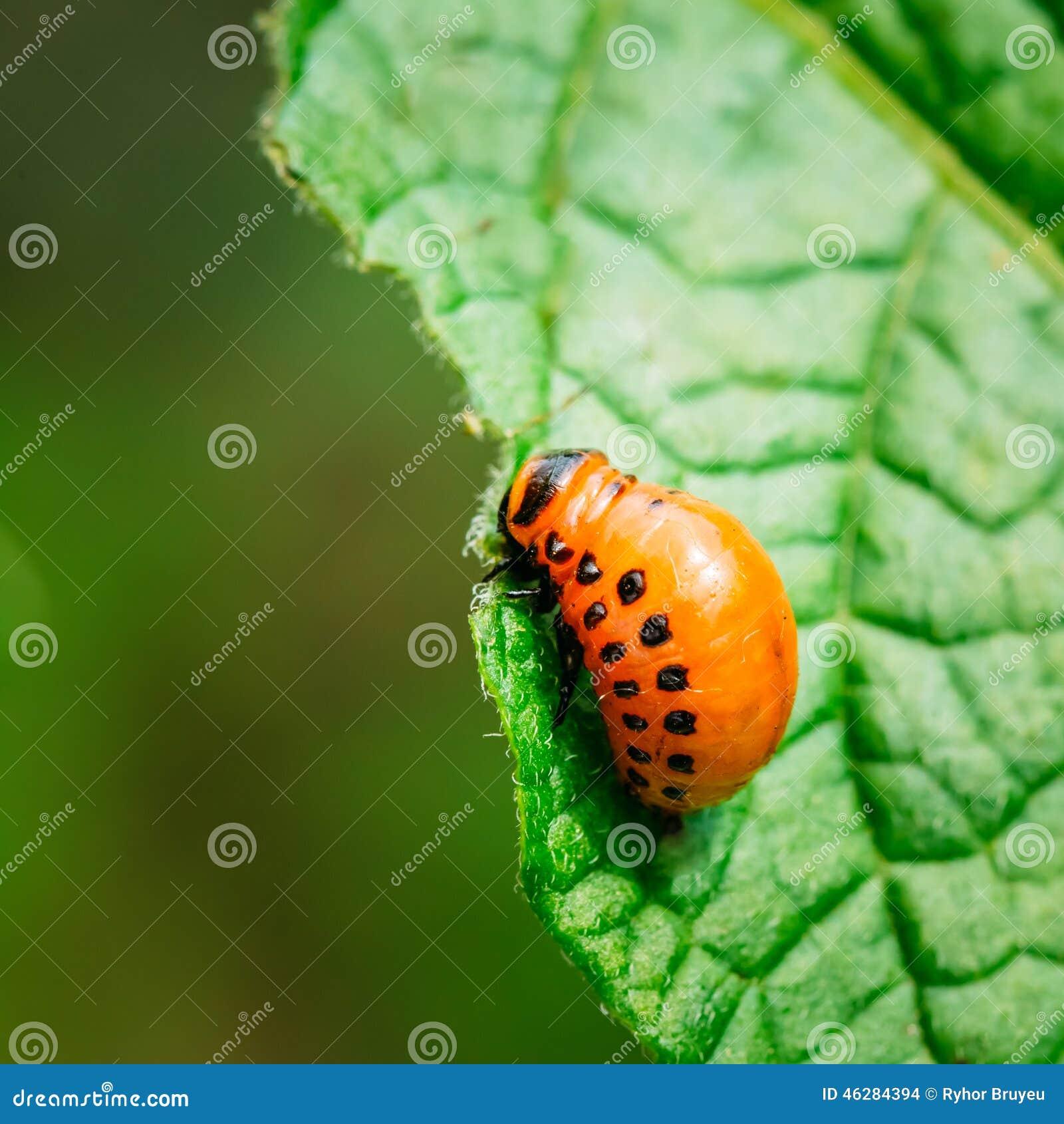 Macro pousse d insecte de pomme de terre sur la feuille