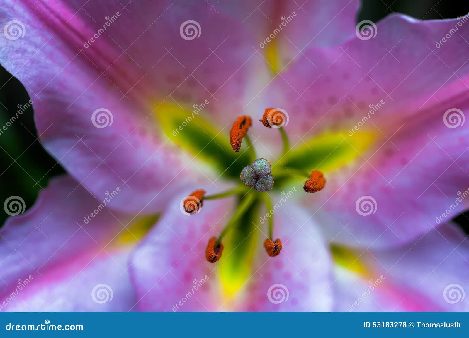 Macro próximo acima de Lilly cor-de-rosa de florescência (Lilium Martagon)