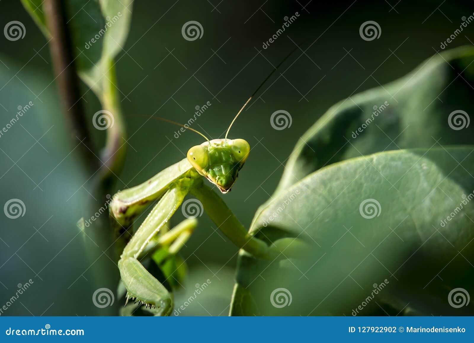 Macro Of Pregnant Female Praying Mantis Or Mantis Religiosa In A