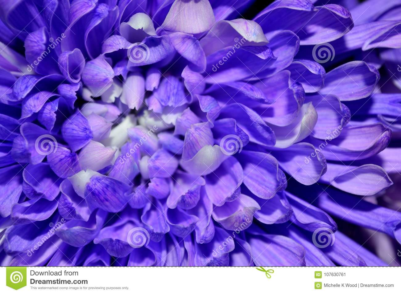 Macro purple and white dahlia