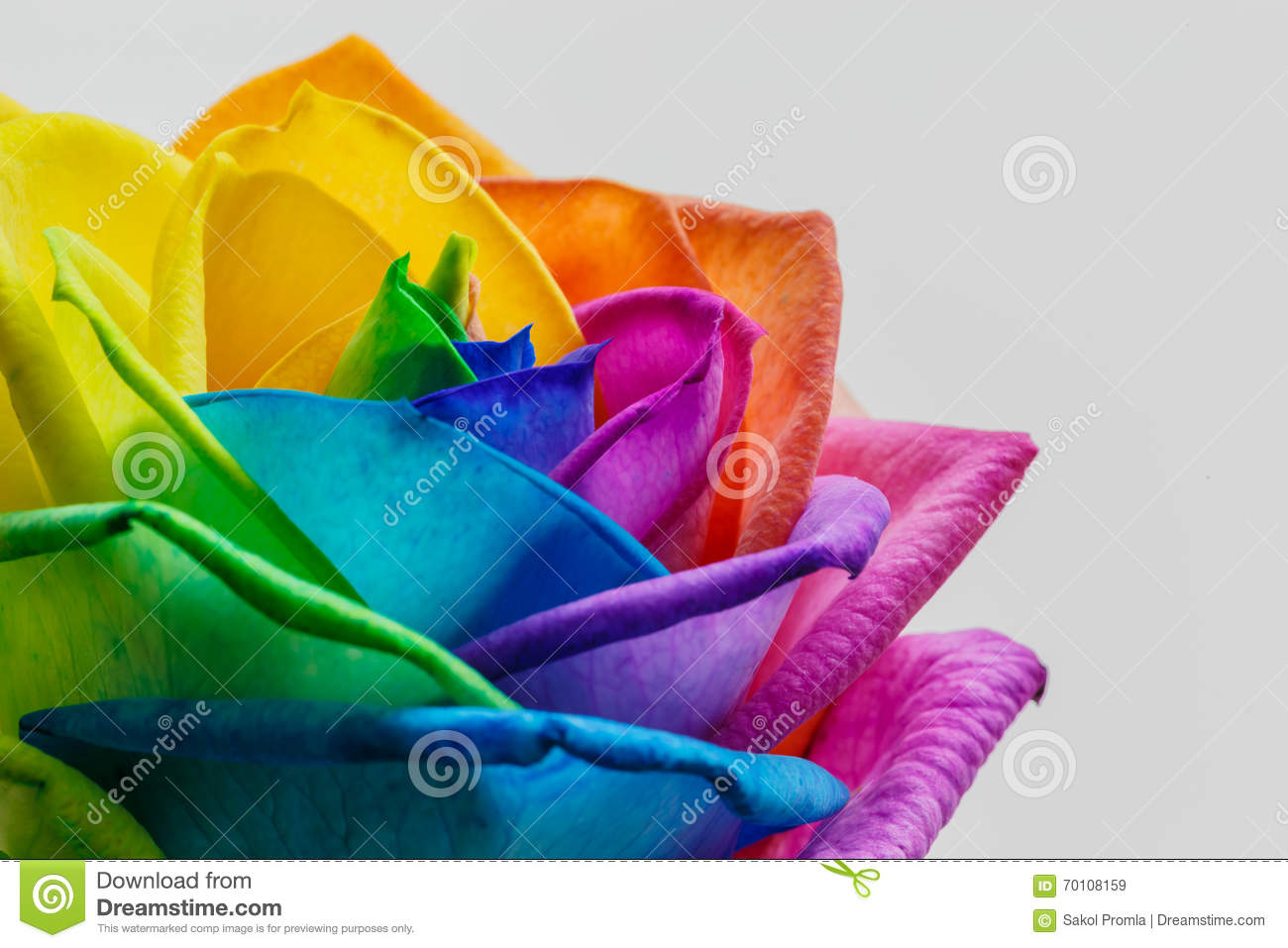 Macro of rainbow rose flower and multi colors petals for Rainbow petals