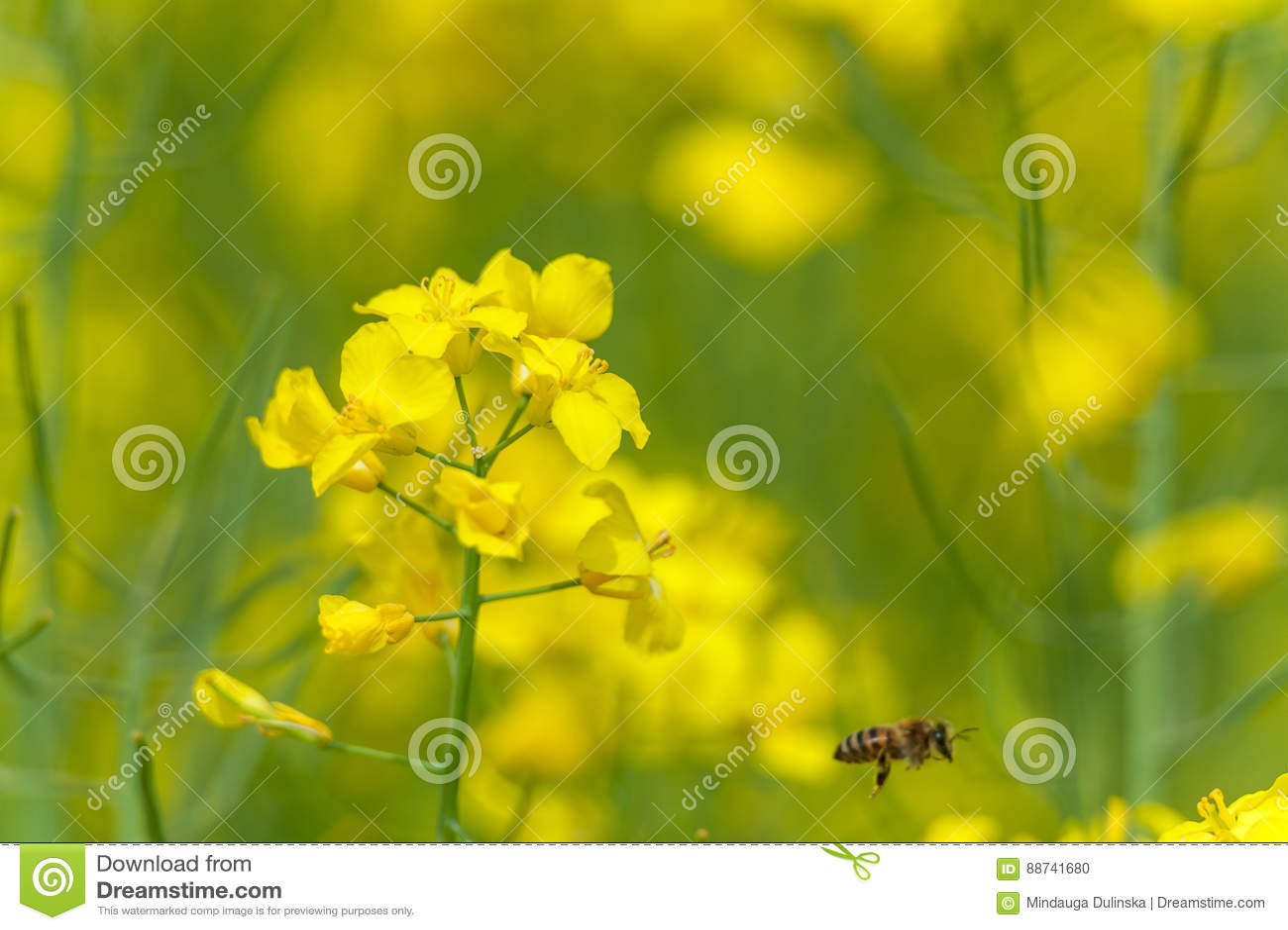 macro rapeseed field blurry bee in background beacause of flying