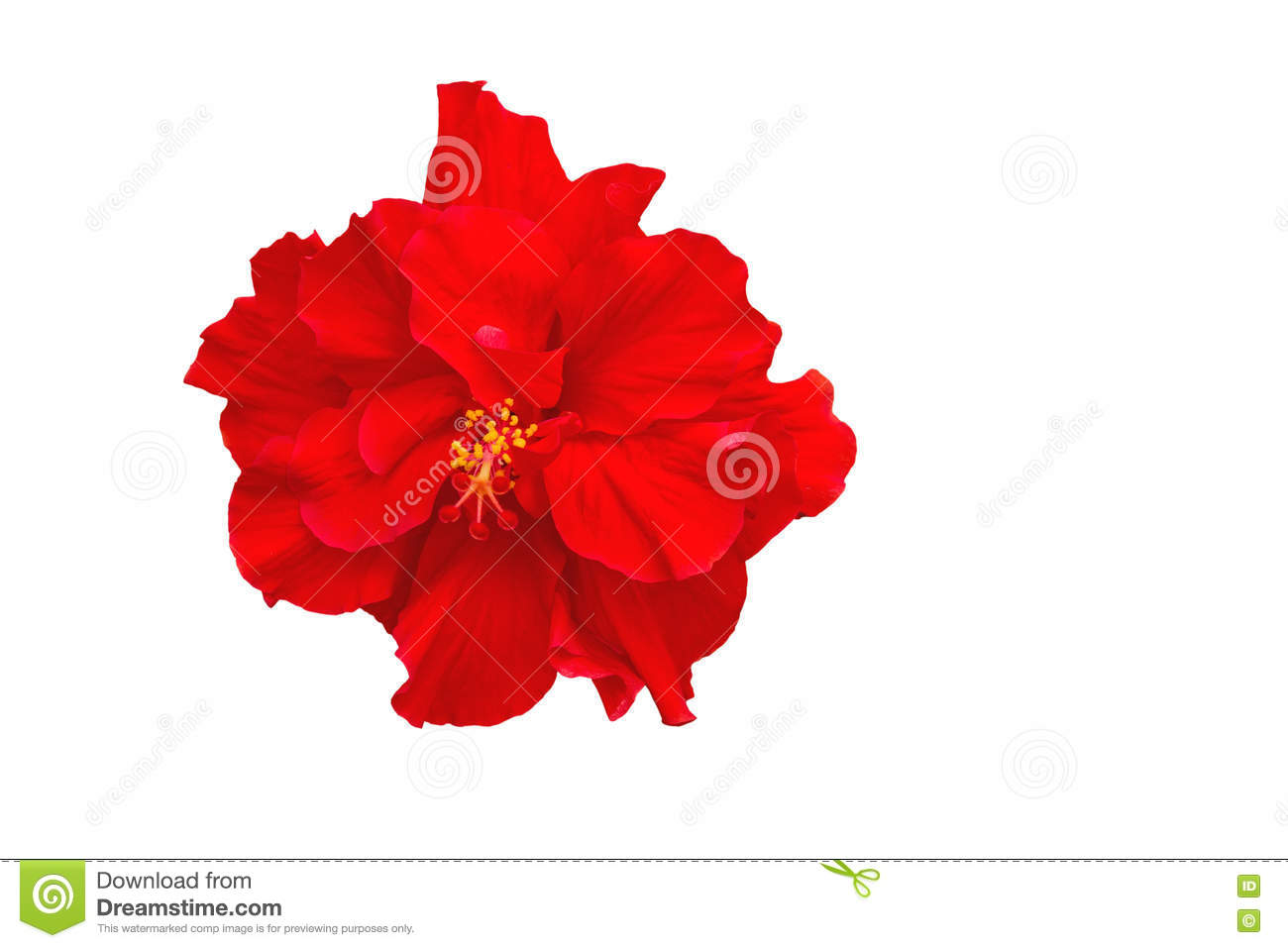 China Rose Flower Stock Photos Royalty Free Stock Images