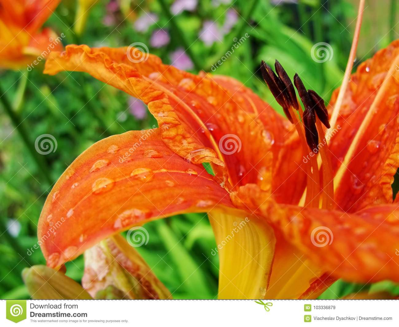 Macro Of Red Orange Flower With Pollen On Anther Stock Image