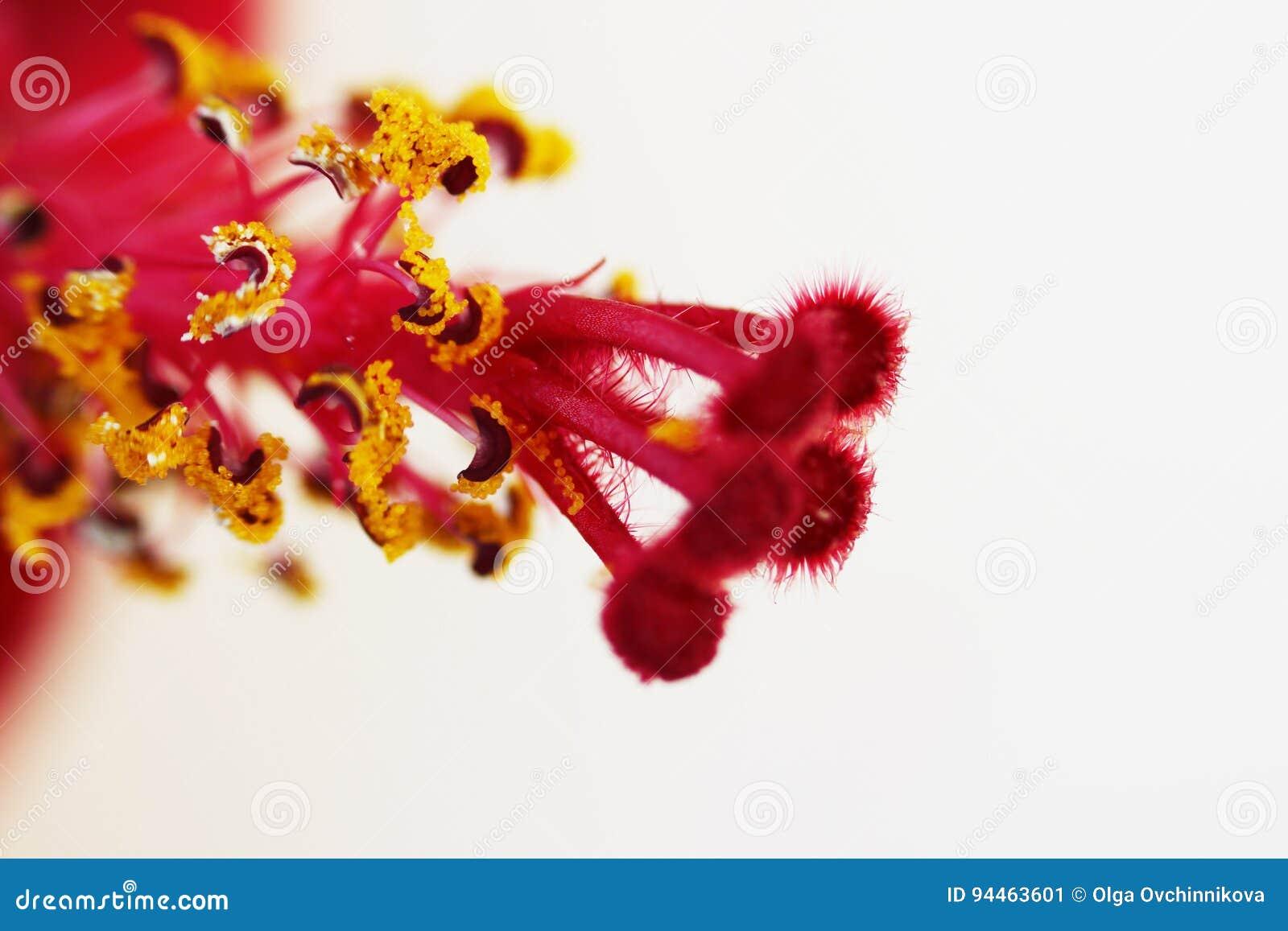 Macro rode stamper en de gele van de familiemalvaceaeon van de bloem stamens hibiscus witte achtergrond