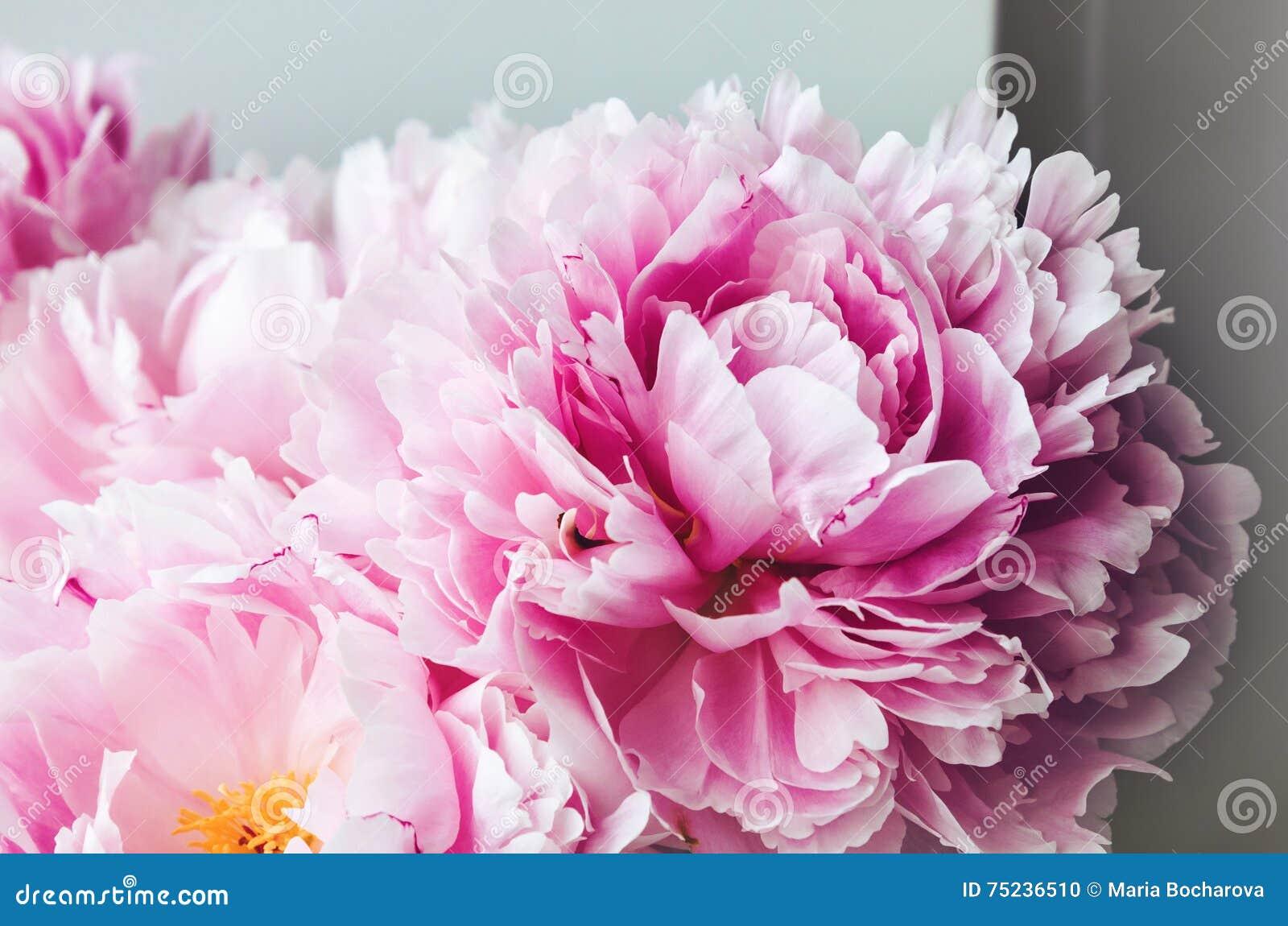 Carta Da Parati Fiori Rosa : Macro rosa del fiore delle rose della peonia delle peonie di