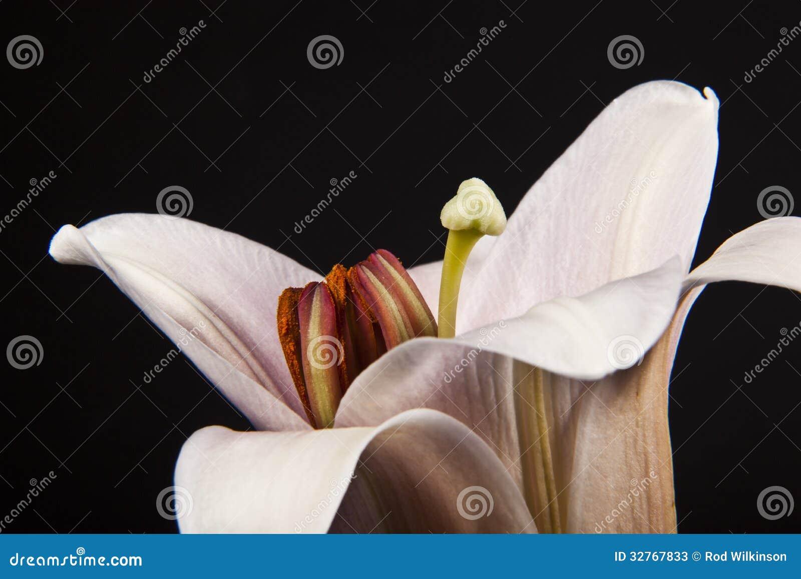 Macro rose de lis de trompette