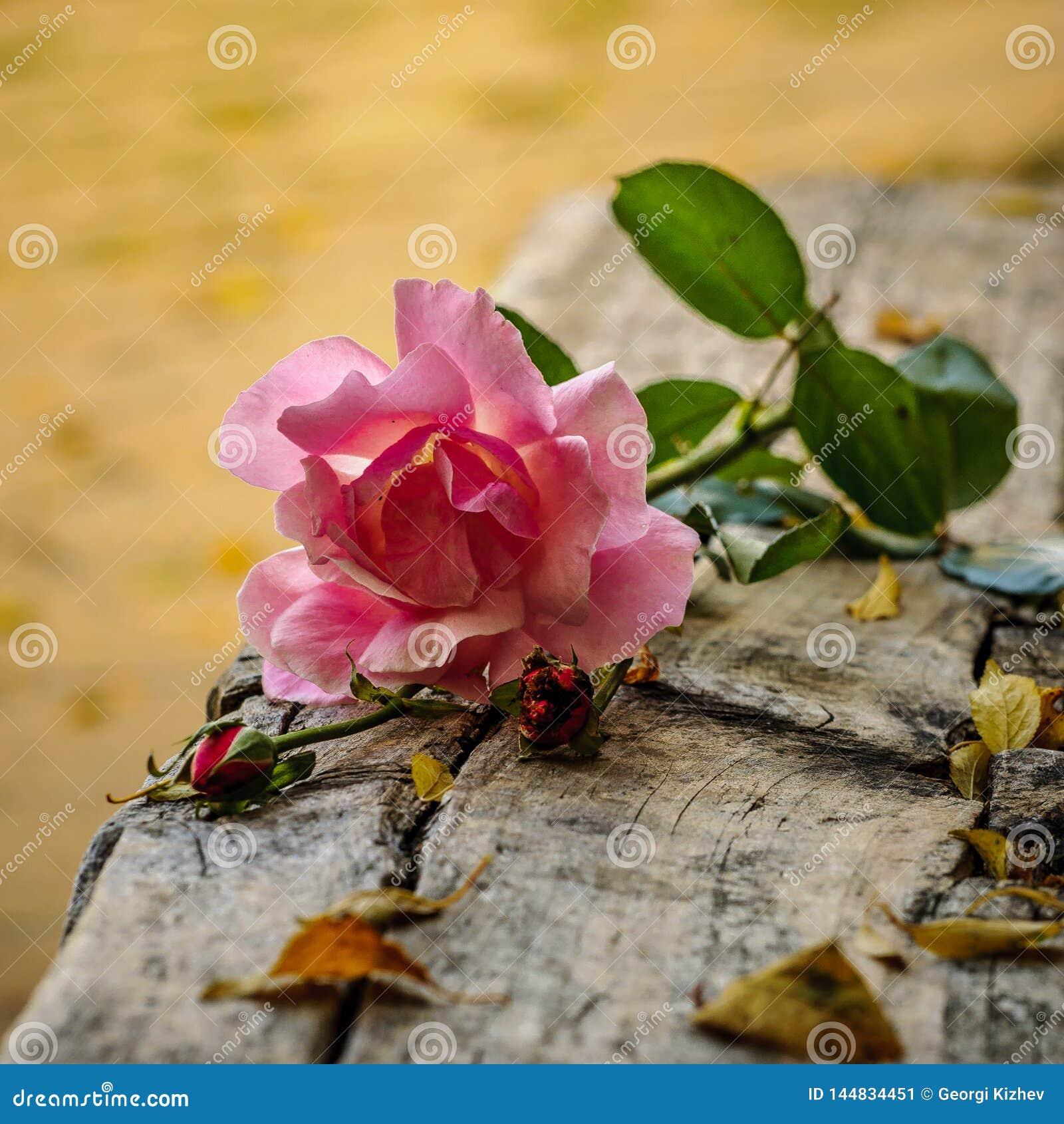 Macro rose with leaf