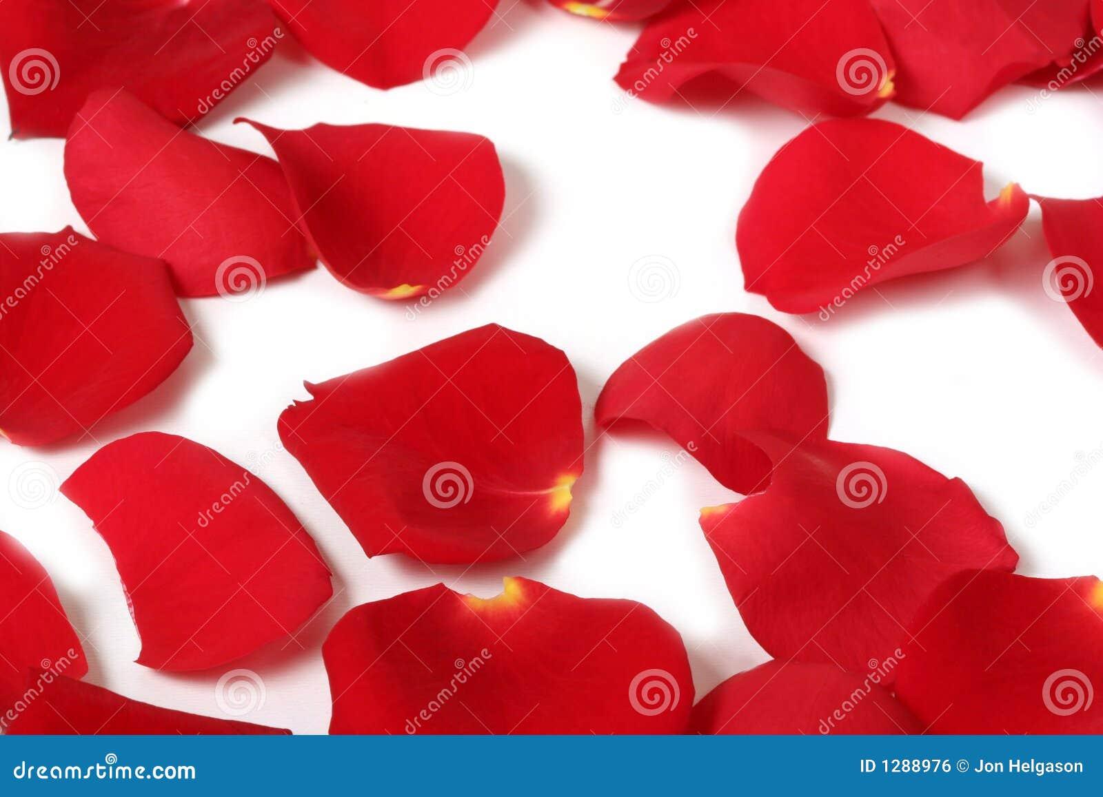 Macro rose petals