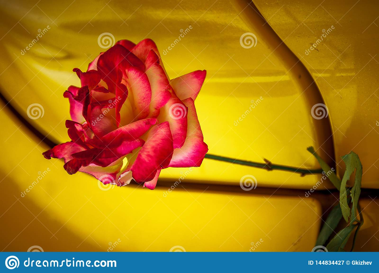 Macro rose with yellow background
