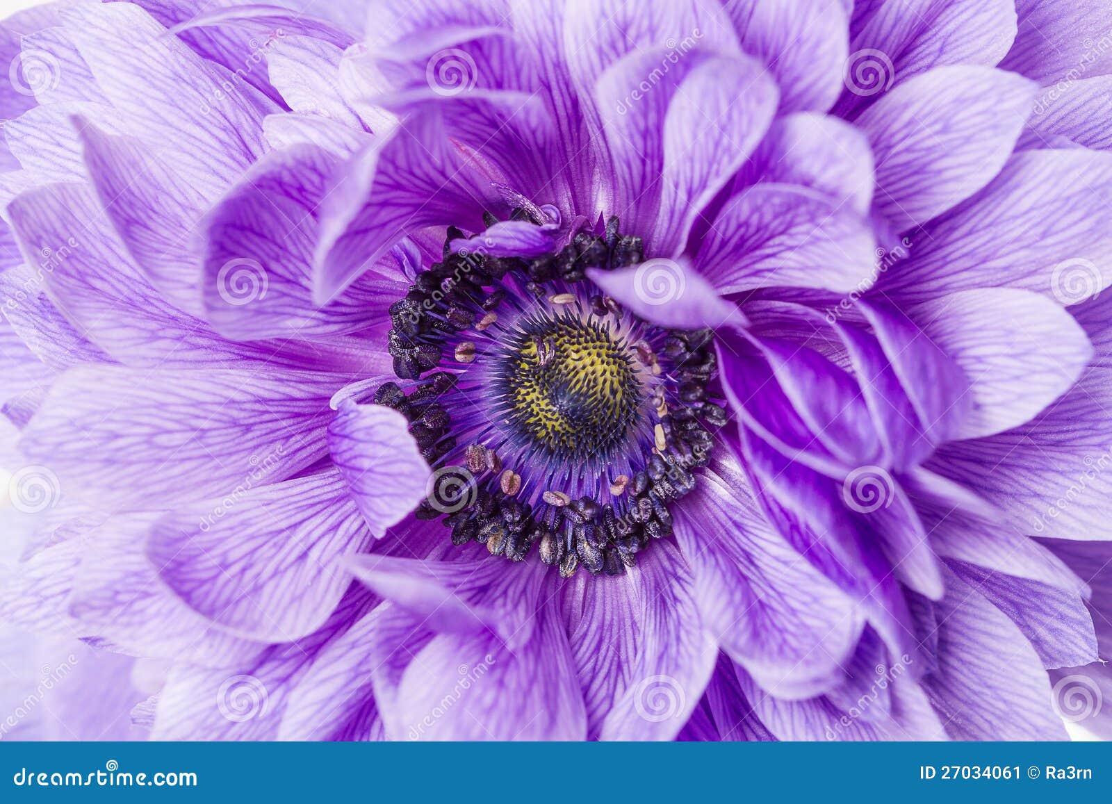 Macro roxo da flor