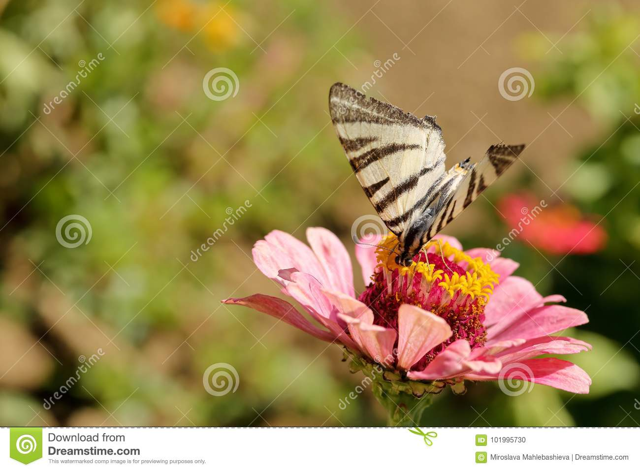 Macro of a Swallowtail Papilionidae butterfly drinking nectar on a pink zinnia elegans flower against blurred natural green backgr