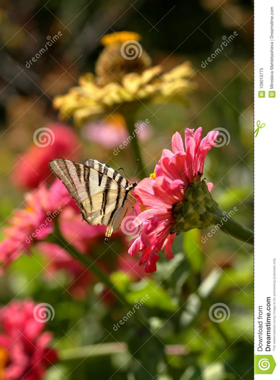 Macro of a Scarce Swallowtail Iphiclides Podalirius butterfly getting nectar on a pink Zinnia Elegans flower against blurred vib