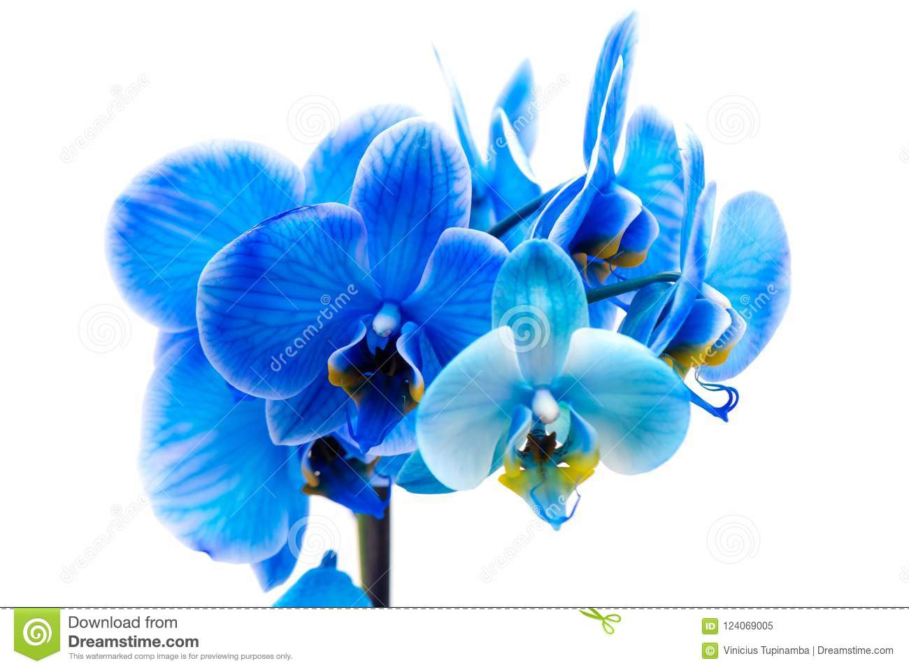 Blue Orchid Flower Stock Image Image Of Delicate Background