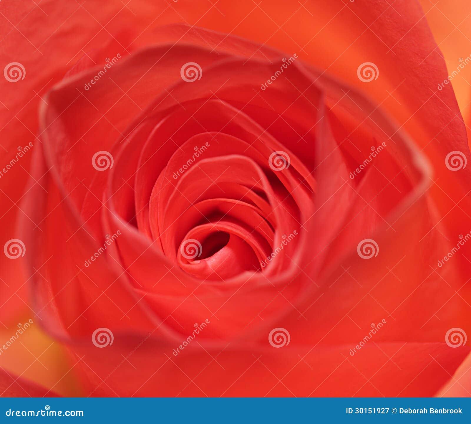 Centre of a rose