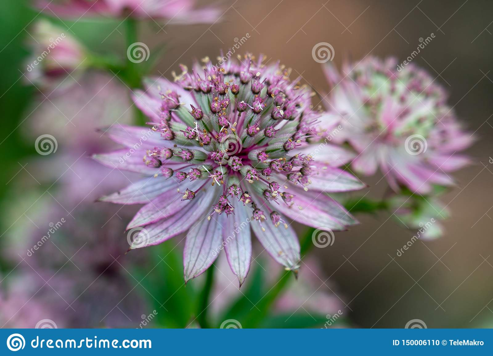 Macro of a pink flower of astrantia major showing many details like pistils and pollen