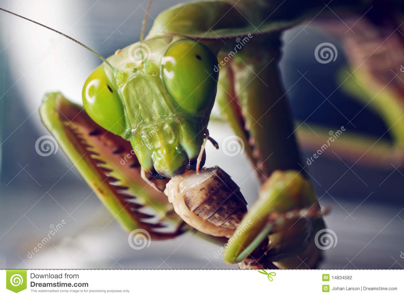 Macro shot of a Praying mantis eating a cricket