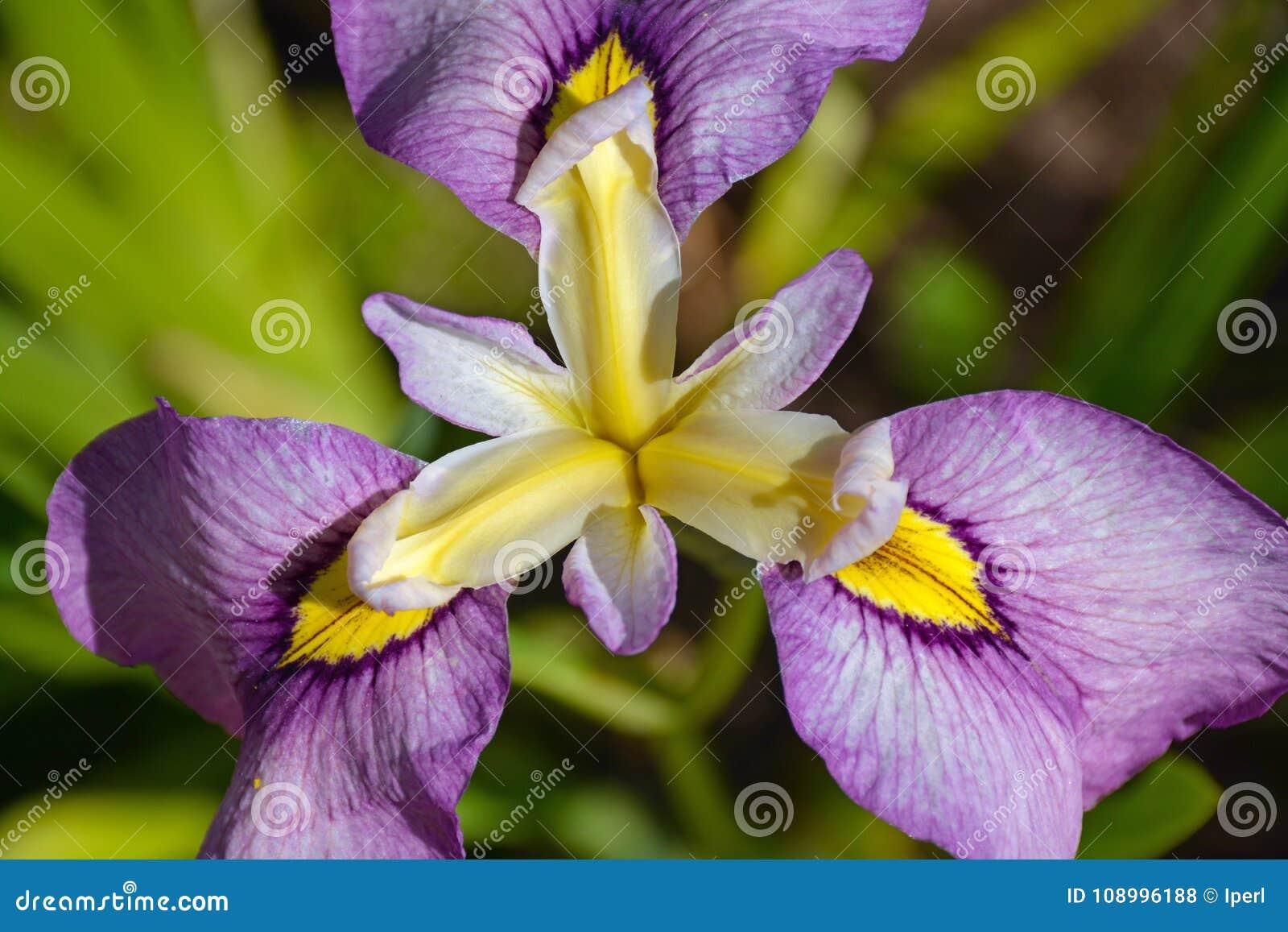 Yellow and purple iris flower stock photo image of iris blooms download yellow and purple iris flower stock photo image of iris blooms 108996188 izmirmasajfo
