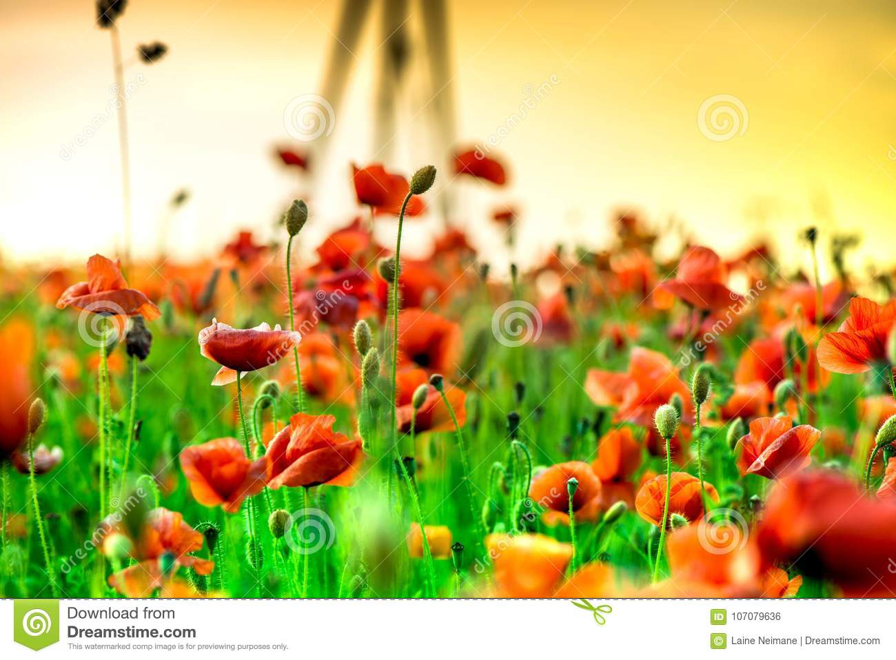 Macro shot of a red poppy bloom in a colorful, abstract and vibrant blossom field, a meadow full of blooming summer flowers