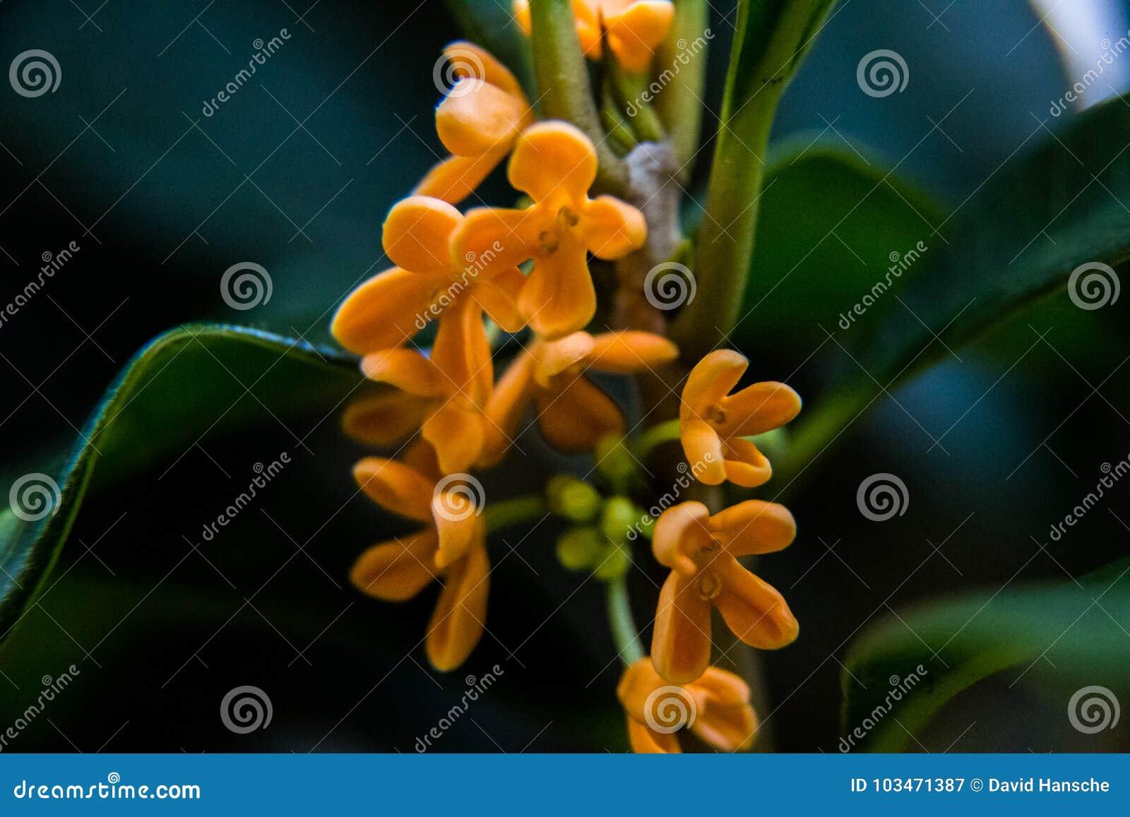 b65ec7f63 A macro shot of small orange Kinmokusei flowers blooming within a green,  broad-leaved bush.