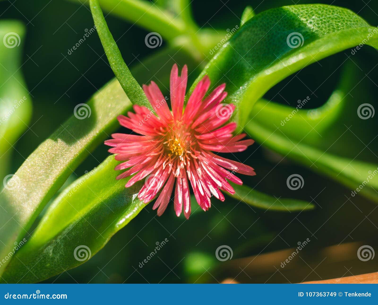 Succulent Plant Macro Shot Pink Flower Stock Image Image Of