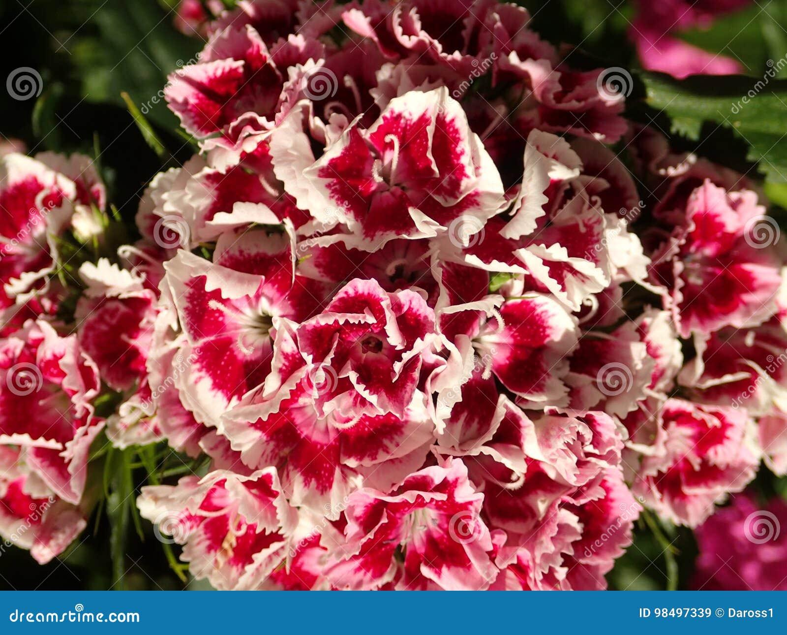 Macro Shot Of Sweet William Flowers Stock Image Image Of Pink