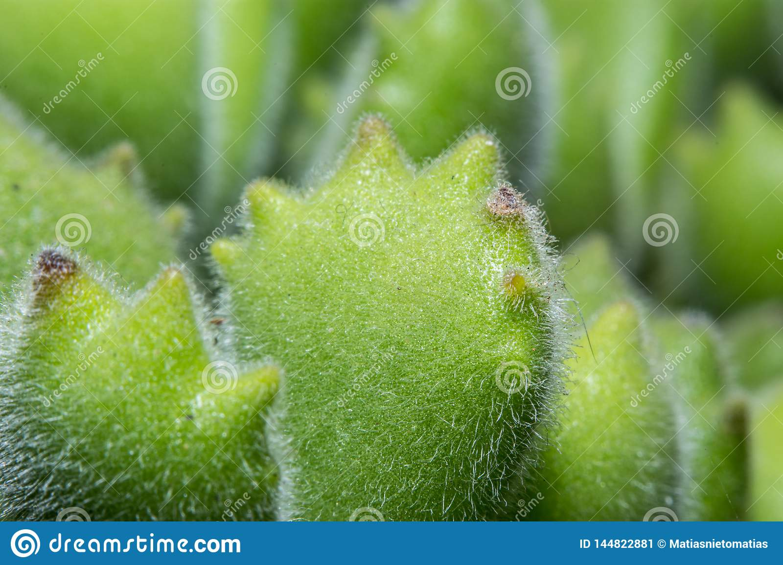Macro shot of a tiny plant called Bear Feet