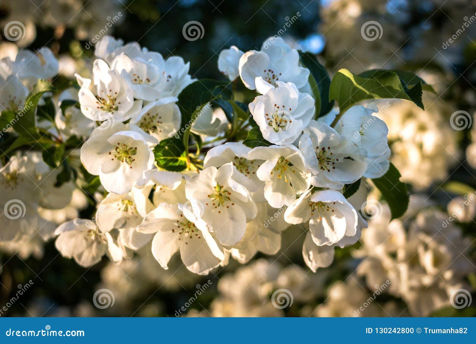 Macro Shot of White Cherry Blossoms in Spring Sunshine