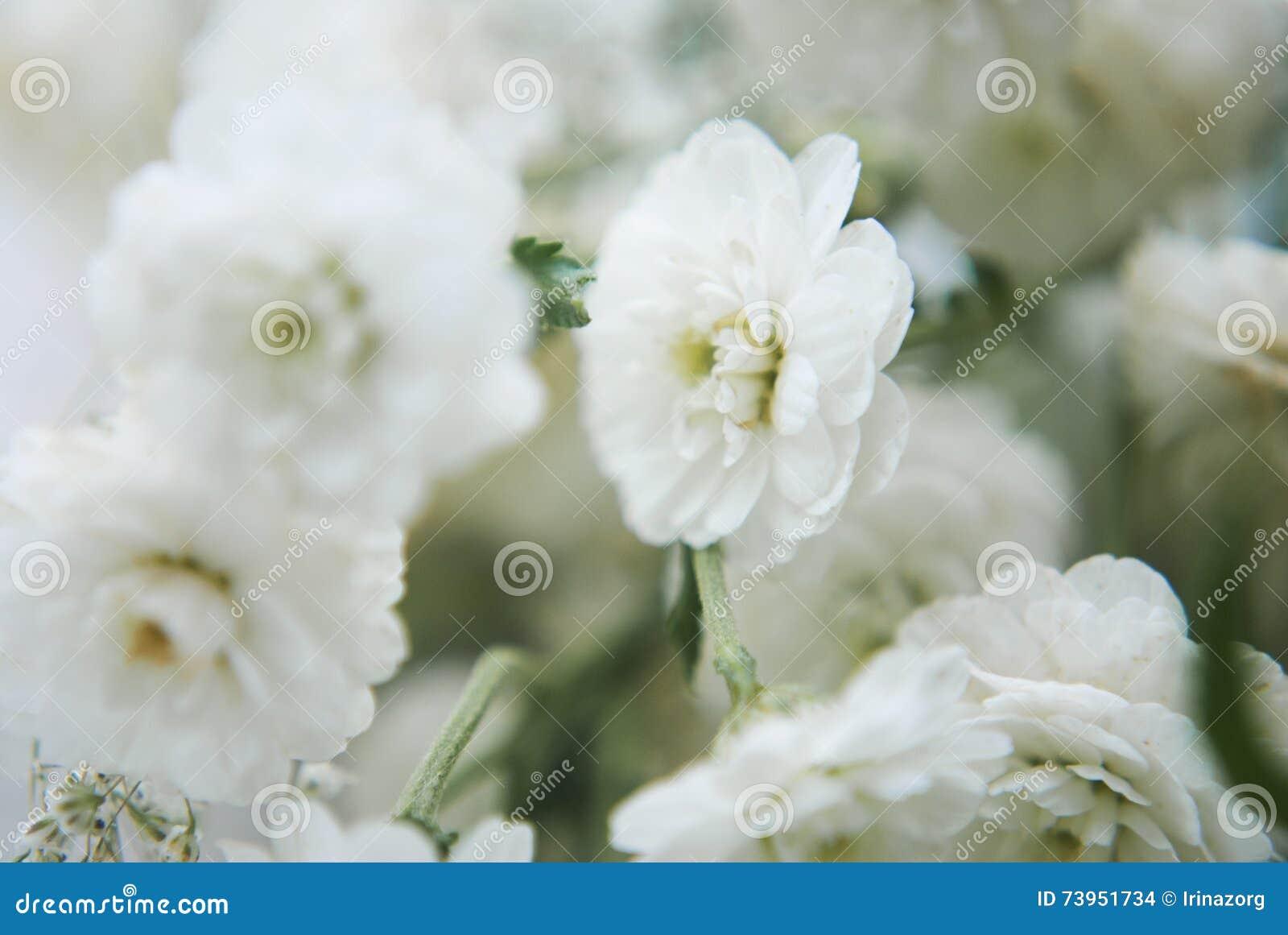 Macro Shot Of White Gypsophila Flowers Stock Photo Image Of Bunch