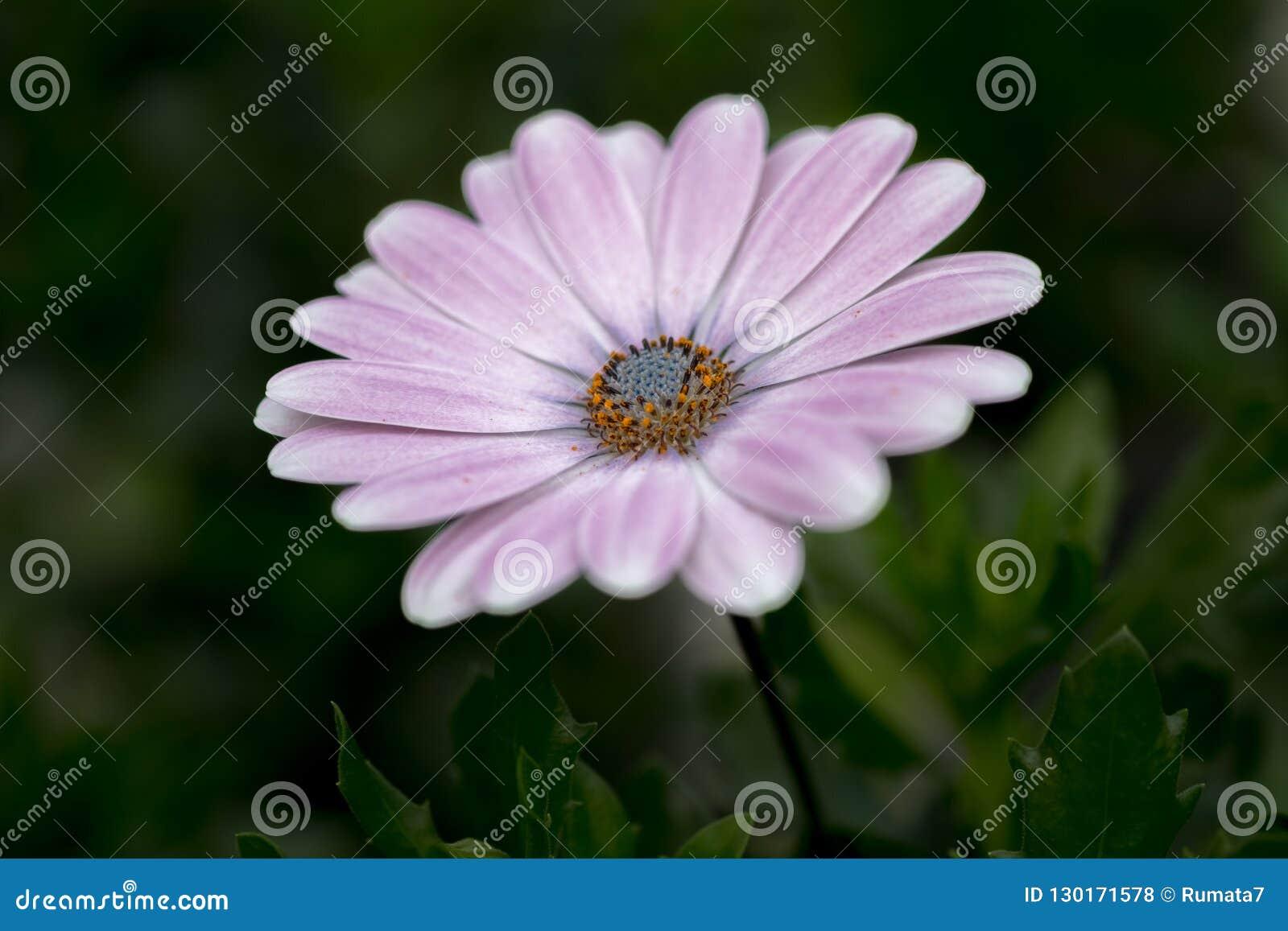 White purple african daisy Osteospermum flower