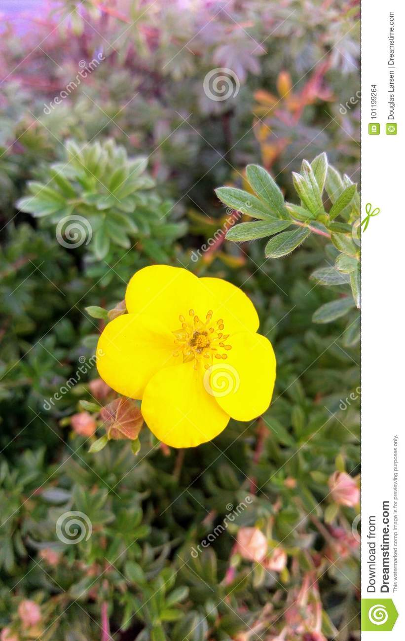 Scotch Broom Flower Macro Stock Photo Image Of Floral 101199264