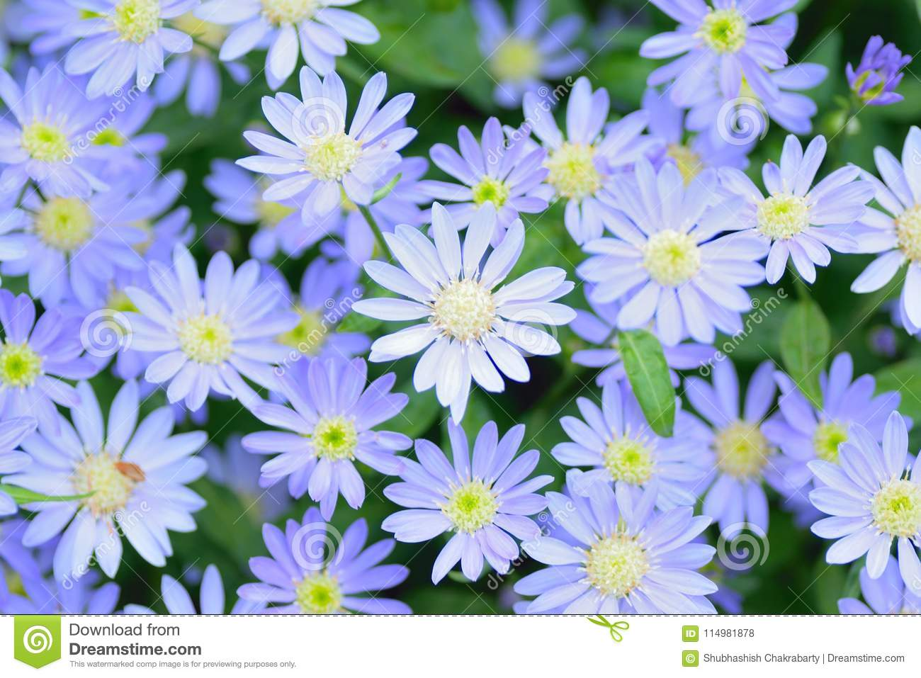 Macro Texture Of Blue Colored Daisy Flowers Stock Photo Image Of