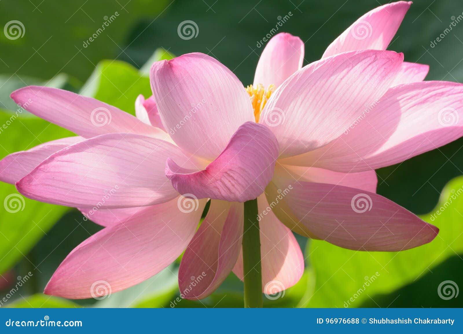 Macro Texture Of Japanese Pink Lotus Flower Horizontal Frame Stock
