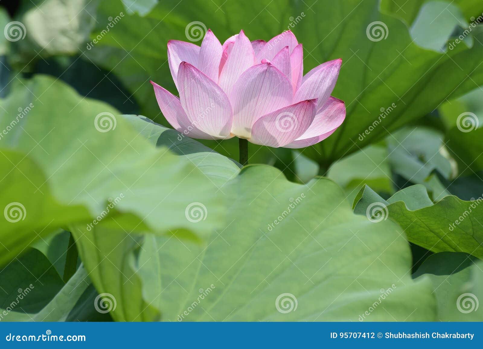 Macro Details Of Japanese Pink Lotus Flower Horizontal Frame Stock