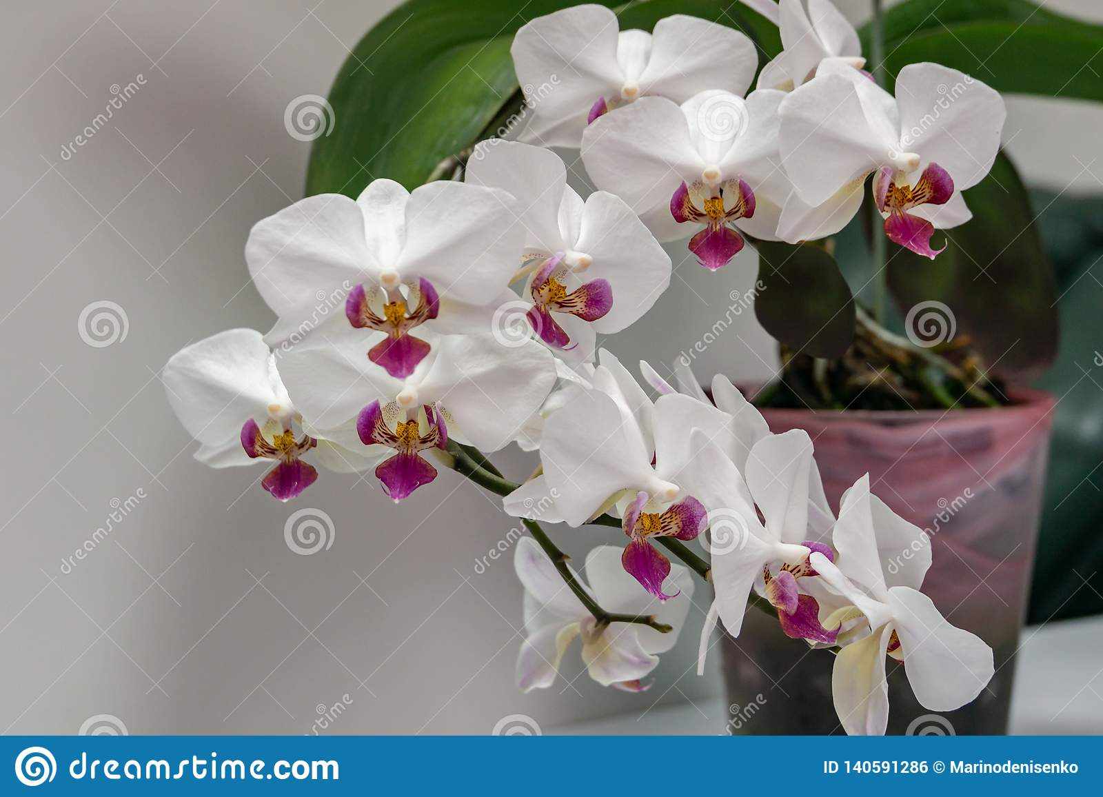 Macro Van Bloem Phalaenopsis 'Pandora 'van De Tak De Witte ...