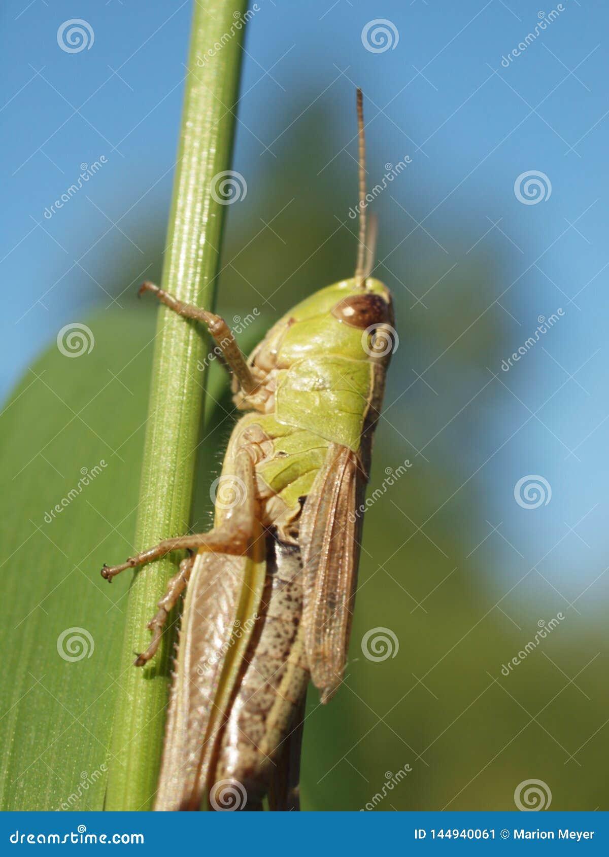 Macro van een groene sprinkhaan die op een grassprietje in evenwicht brengen
