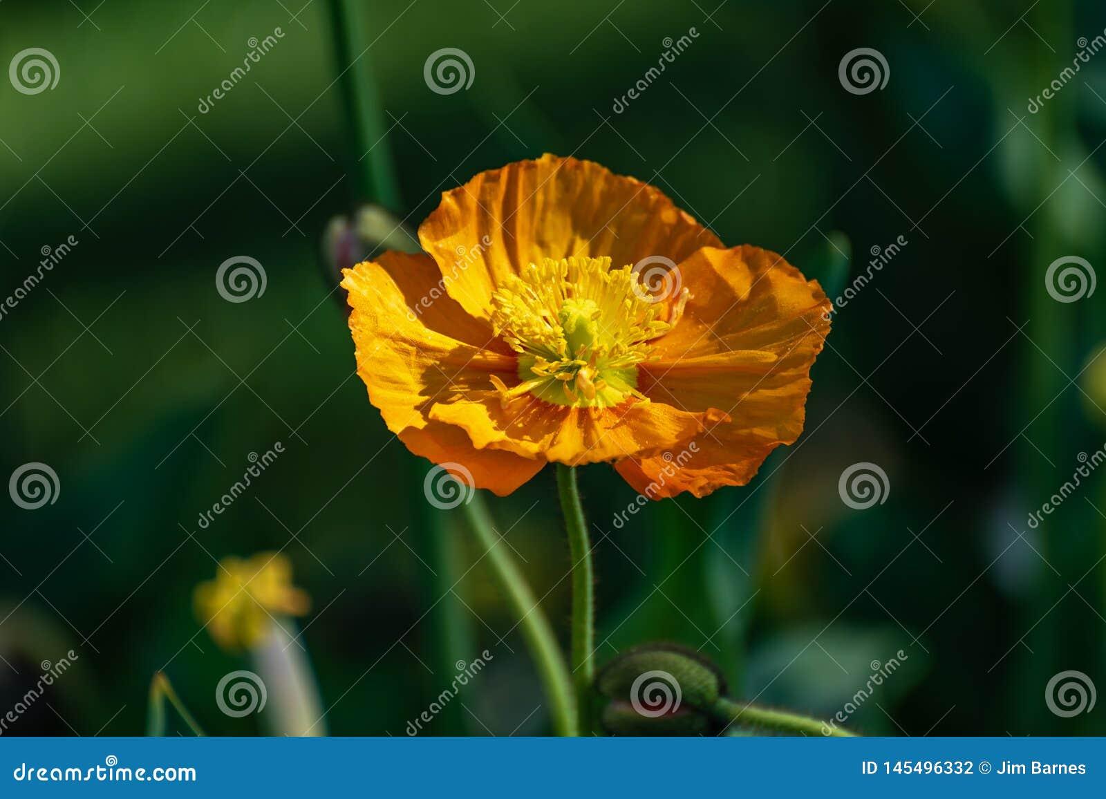 Macro van een oranje bloem op een donkergroene achtergrond