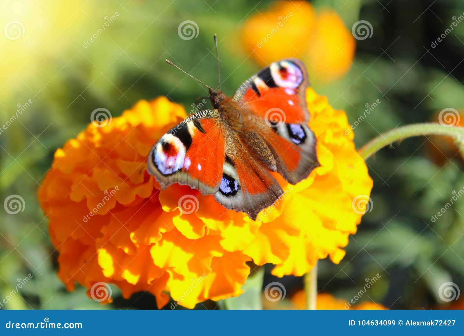 Download Macro Van Vlinder Die Nectar Op De Goudsbloemen Verzamelen Stock Afbeelding - Afbeelding bestaande uit breekbaar, peacock: 104634099