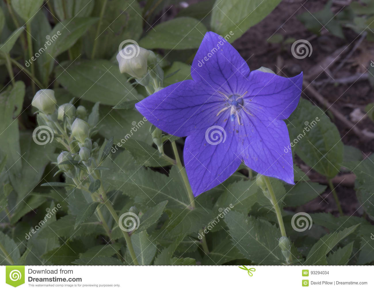 Macro View Balloon Flower Buds And Bloom Stock Photo Image Of