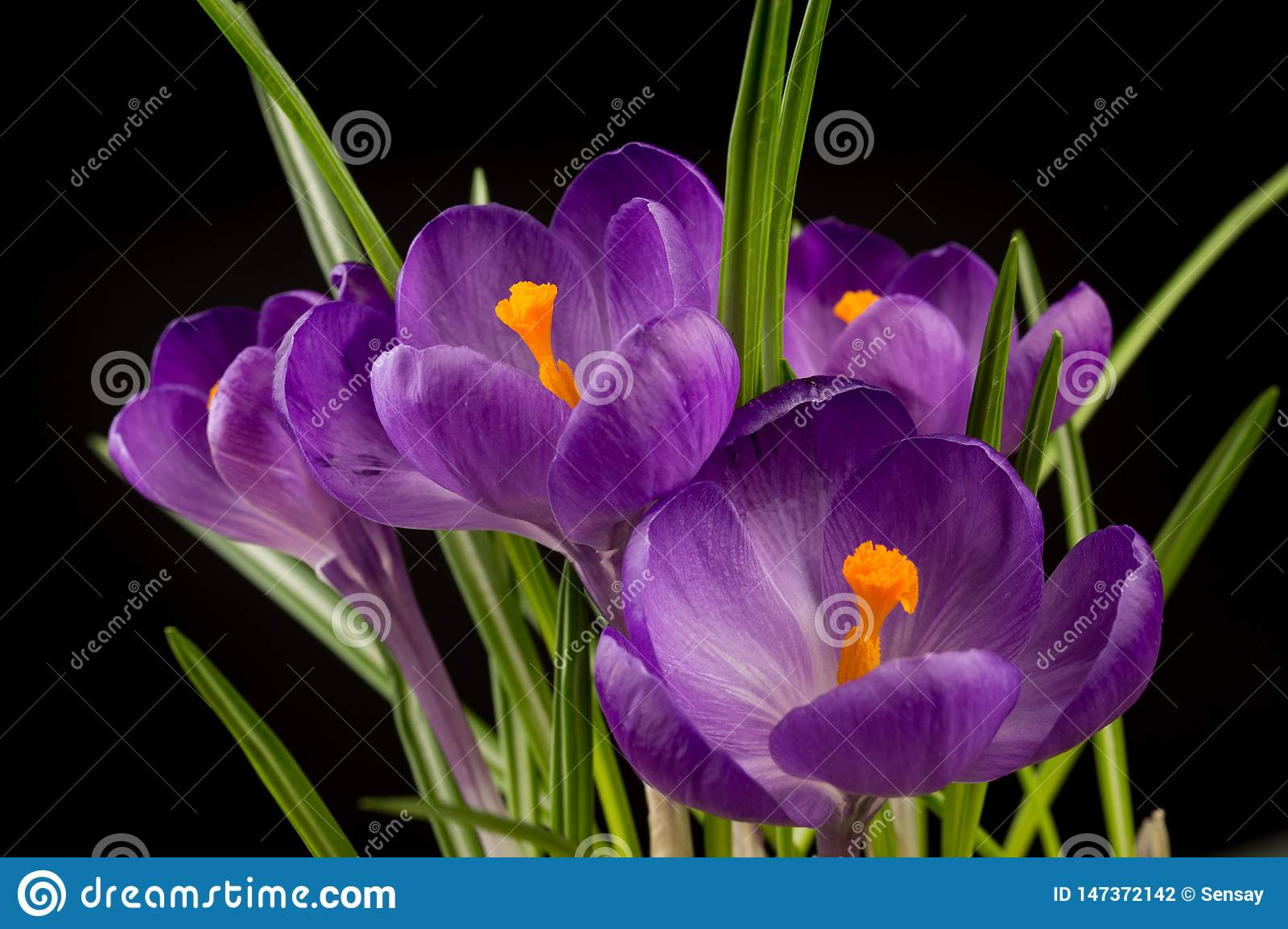 Macro view of a beautiful crocus flower on black. Spring background