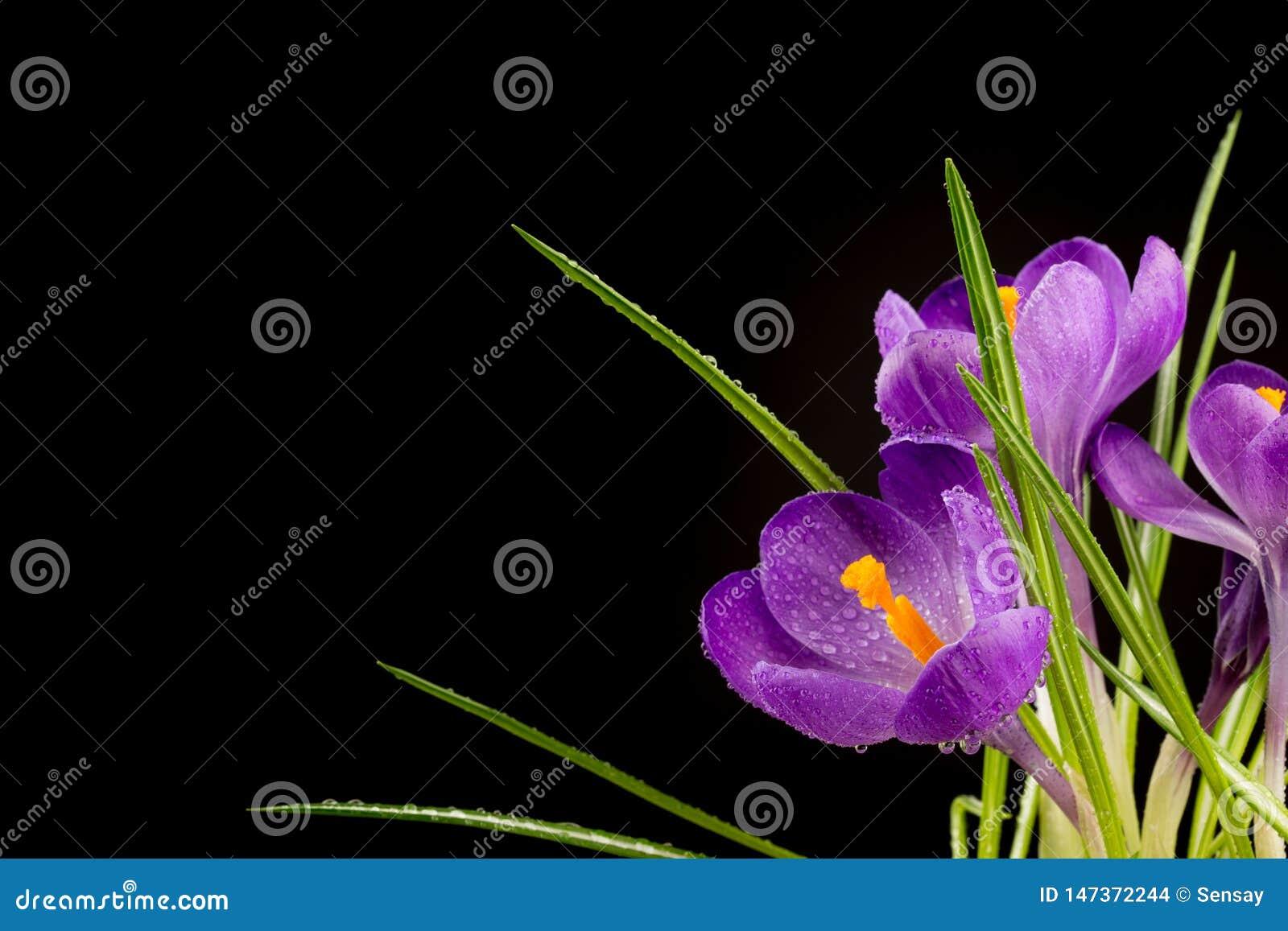 Macro view of a beautiful crocus flower on black. Spring background