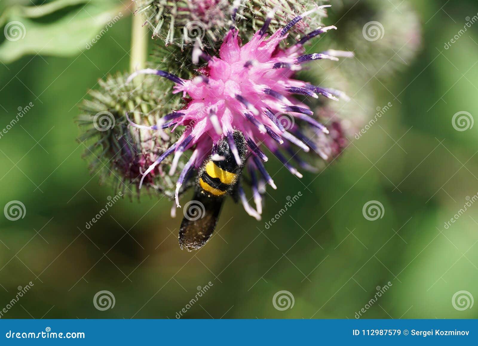 Macro view behind black and yellow Caucasian wasp Scolia hirta o