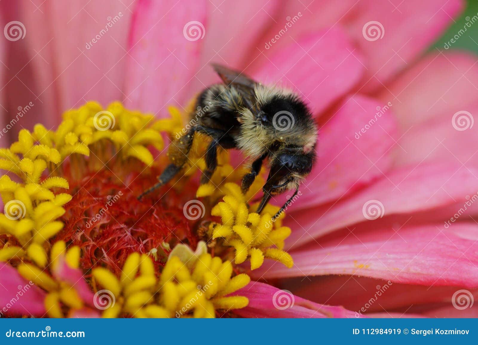 Macro view of Caucasian fluffy striped bumblebee Bombus serrisquama on yellow-pink Zinnia