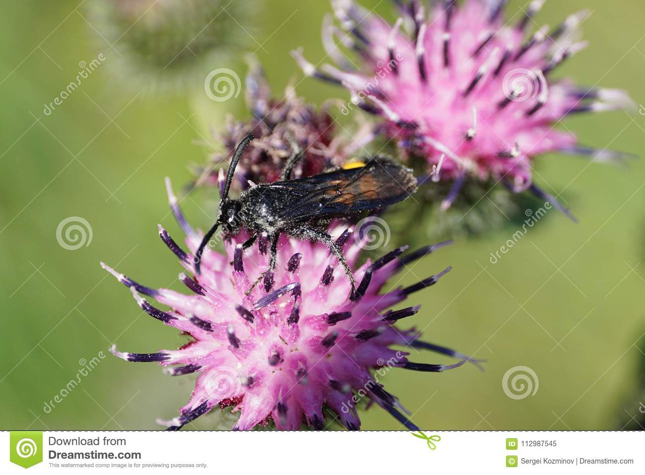 Macro view of the crawling black and yellow Caucasian wasp Scolia hirta on the flower of thistle Arctium lappa