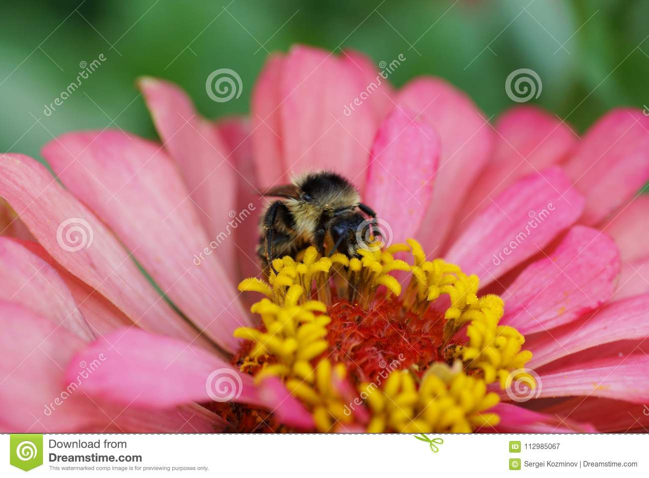 Macro view from front of Caucasian fluffy striped bumblebee Bomb