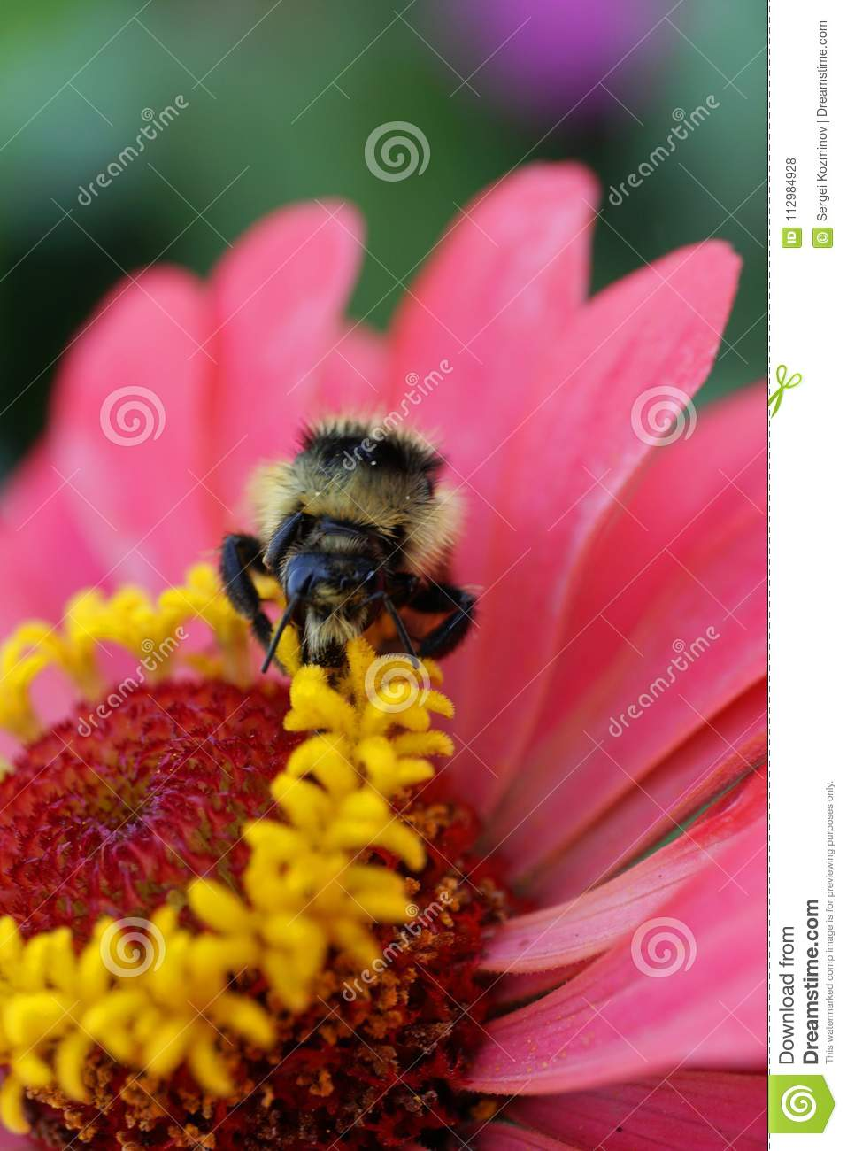 Macro view from front of a Caucasian striped Bumblebee serri