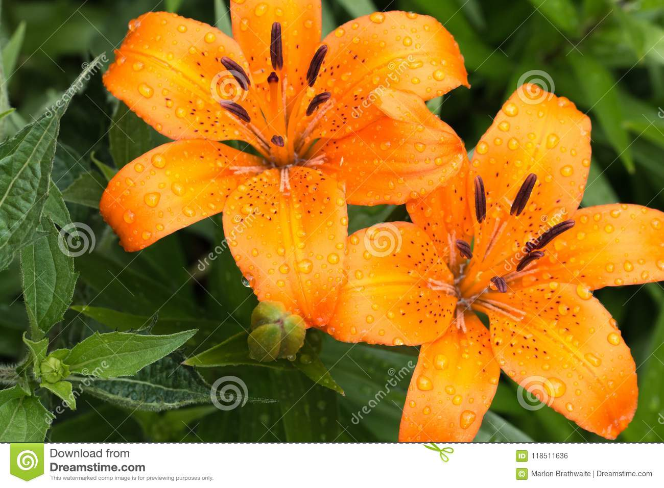 Macro view of a orange asiatic lily stock photo image of flower download macro view of a orange asiatic lily stock photo image of flower orange izmirmasajfo