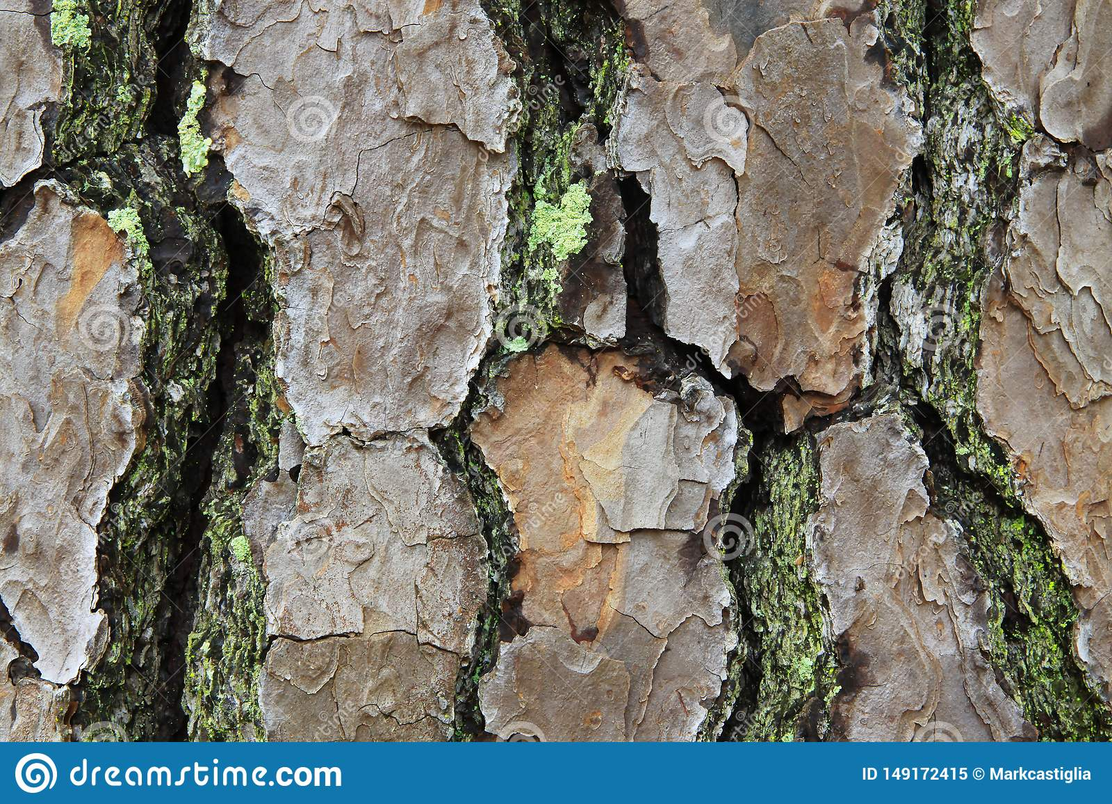 Macro vue d ?corce de pin avec de la mousse et le lichen