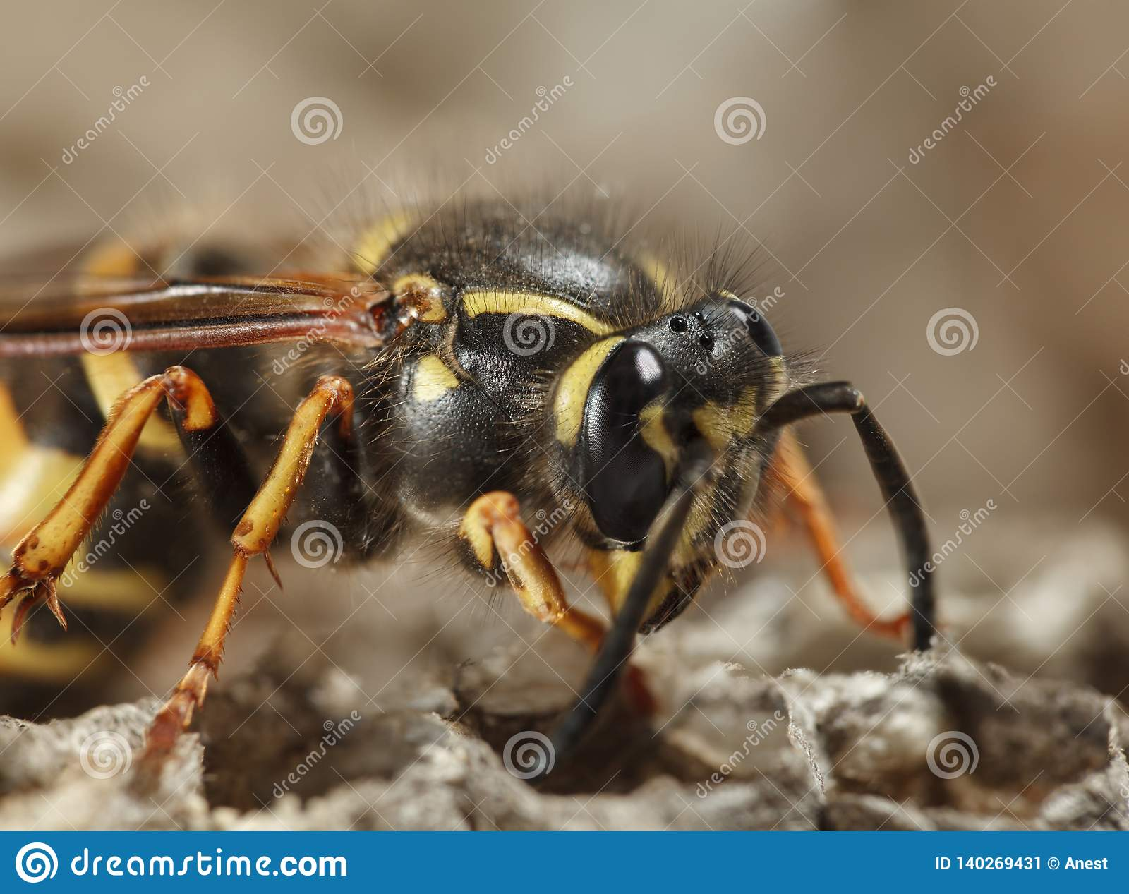 Macro of wasp on nest