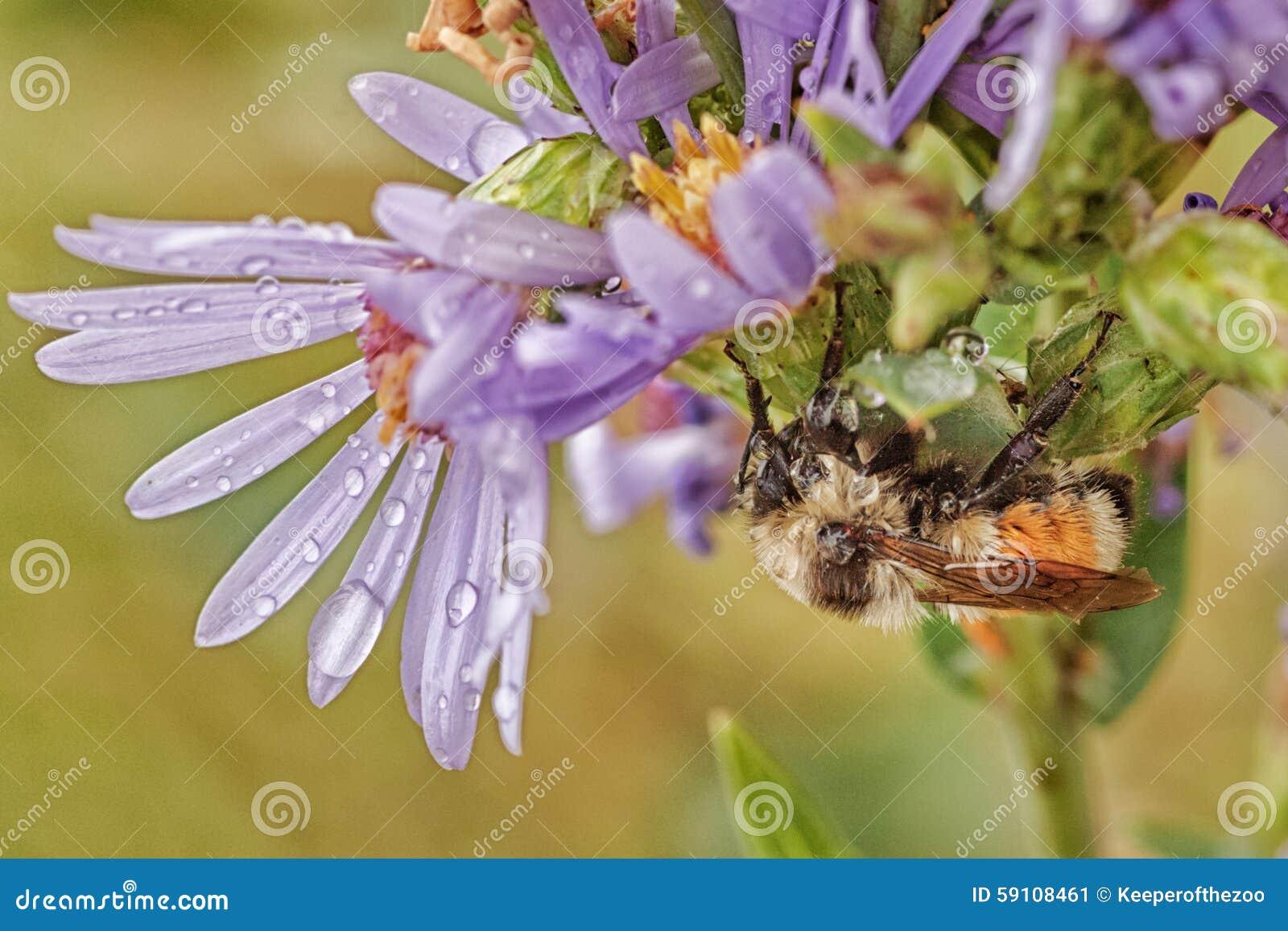 Macro of a Wet Bee